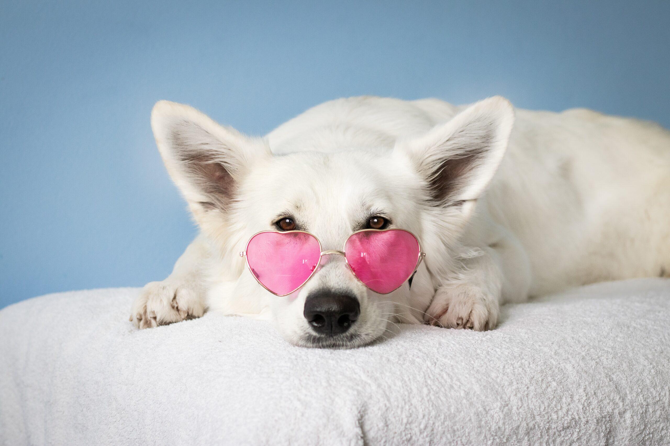 ピンク色のサングラスをかけて、こちらをじっと見つめる、耳のピンとたった白い毛並みの犬